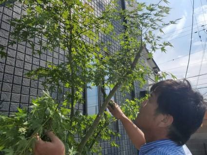 姫路外構 イロハモミジのシンボルツリー