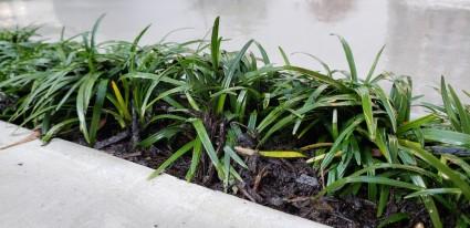 タマリュウの植栽