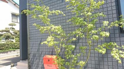 姫路外構|イロハモミジのシンボルツリー