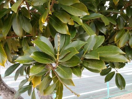 サンガーデン街路樹