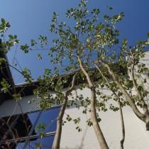 ソヨゴのシンボルツリー